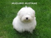 MUGUIRIS MORGAN-MUGUIRIS MUSTANG